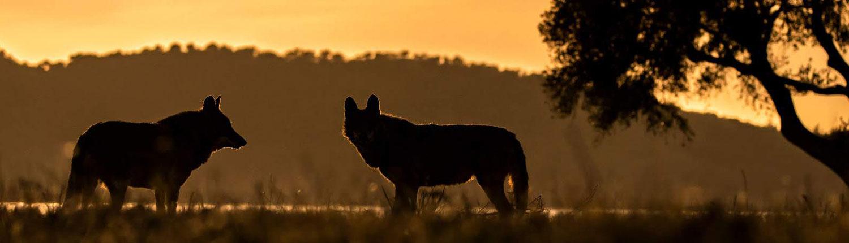 Experiencia lobo ibérico