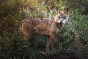 Escape Room al aire libre sobre el lobo ibérico en Madrid